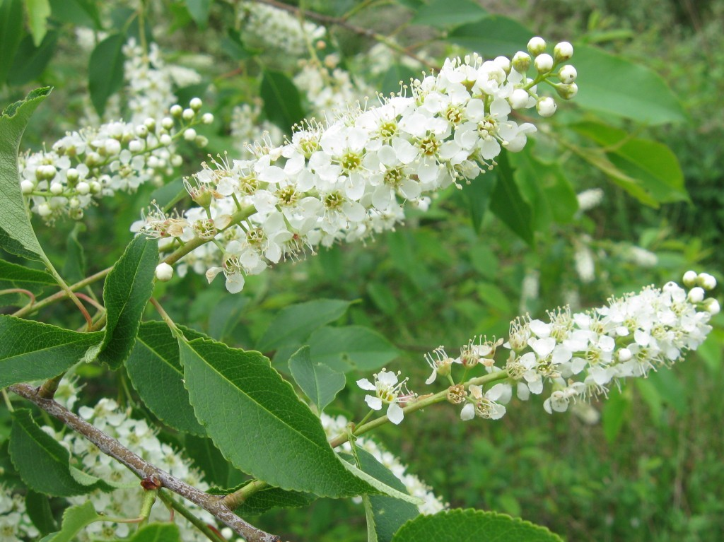 Black Cherry (Prunus serotina)