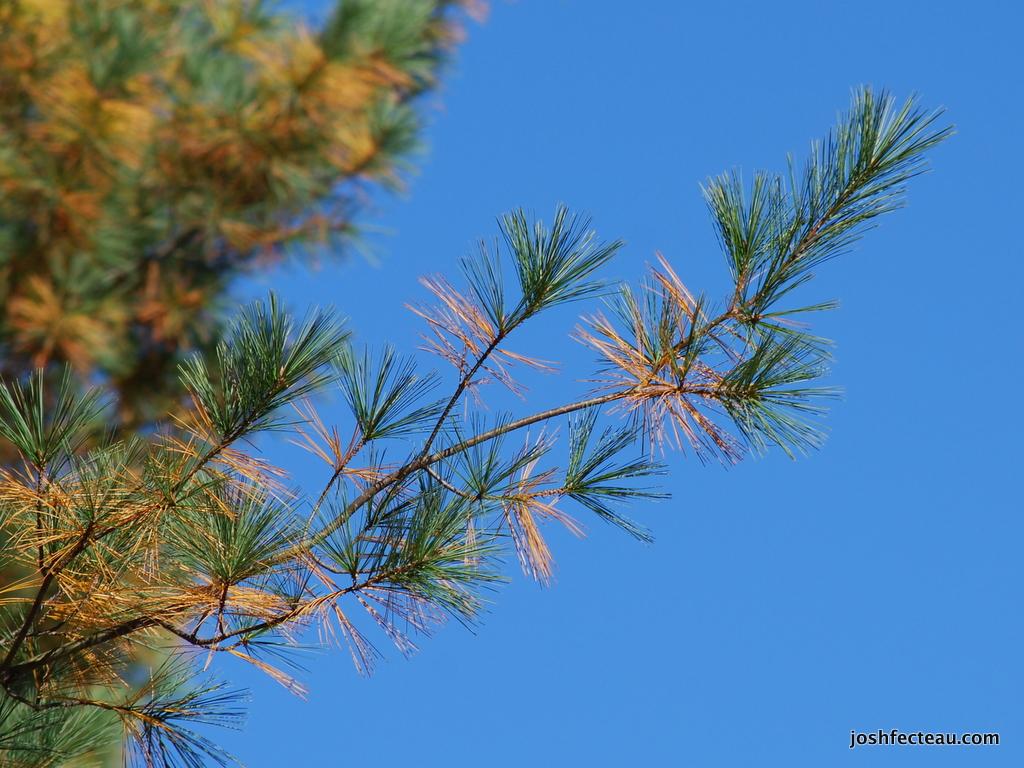 Photo of Eastern White Pine dead needles