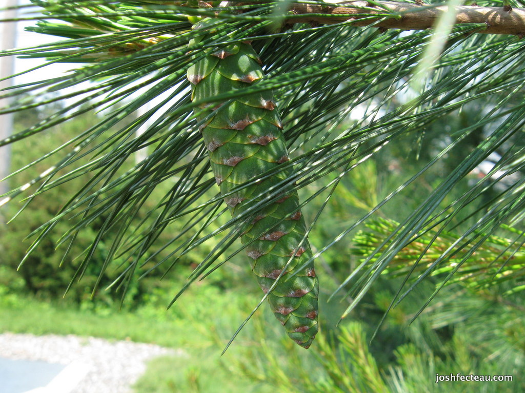 Photo of Eastern White Pine green cones