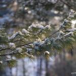 Photo of Eastern White Pine snow