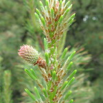 Photo of Pitch Pine female cones