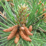 Photo of Pitch Pine open male cones