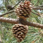 Photo of Pitch Pine open cones