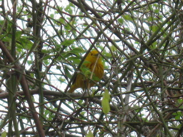Mystery bird -- photo taken 4/26/12 in Plainville, MA
