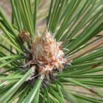 Photo of Red Pine bud