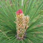 Photo of Red Pine female cones