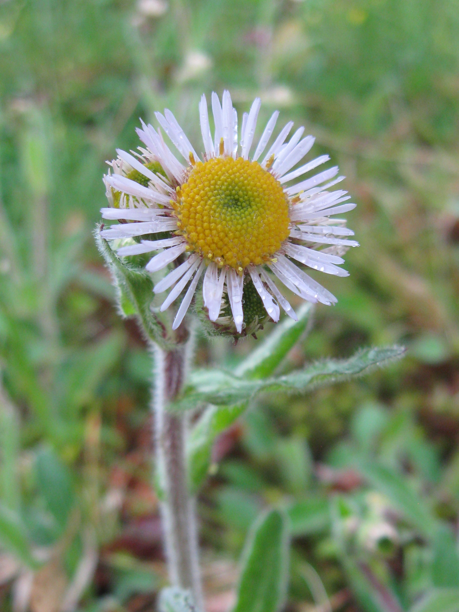 Photo of Robin's Plantain Fleabane