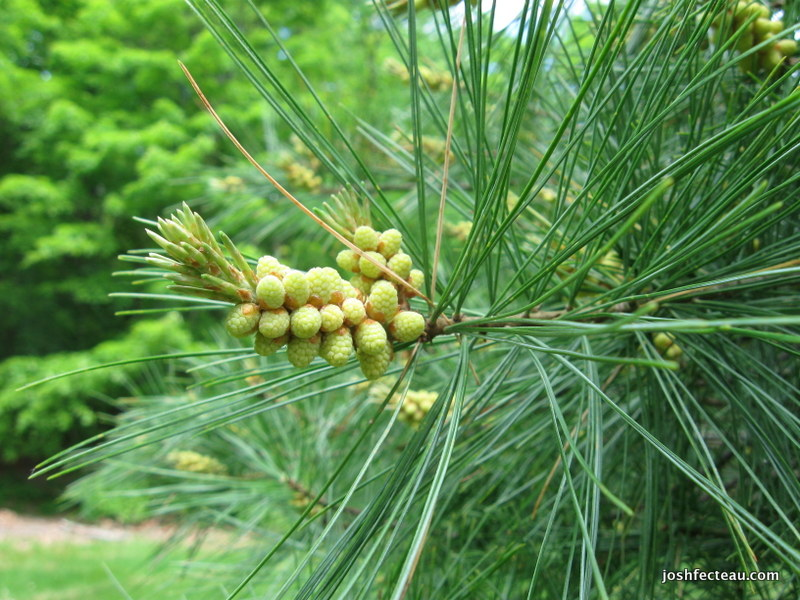 Photo of Eastern White Pine pollen cones