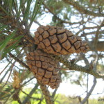 Photo of Scotch Pine cones