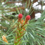 Photo of Scotch Pine female cones