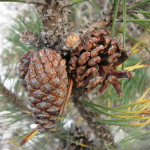 Photo of Scotch Pine open and closed cones