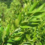 Photo of Small Bayberry branch