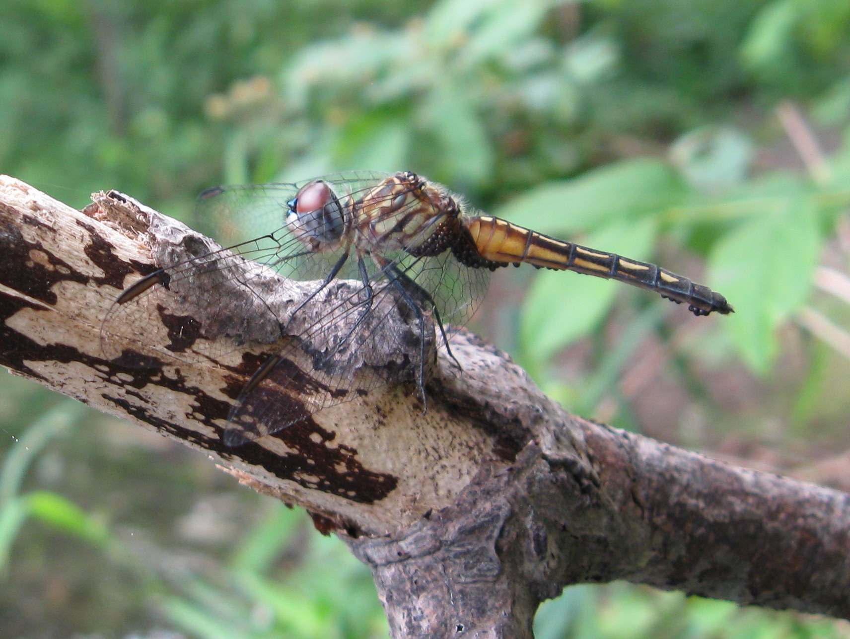 Photo of Blue Dasher (female)