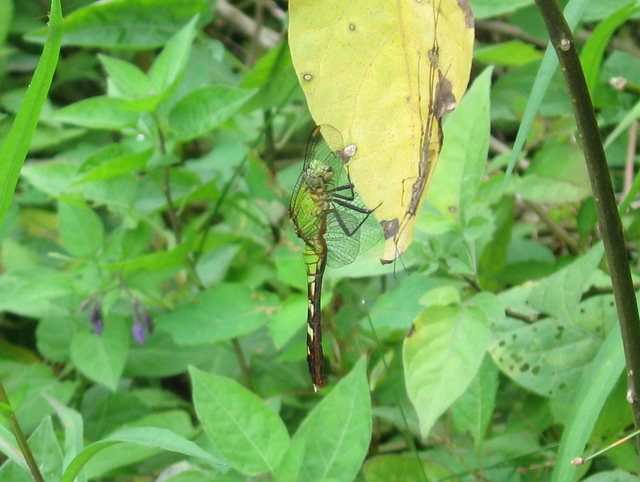 Photo of Eastern Pondhawk (female)