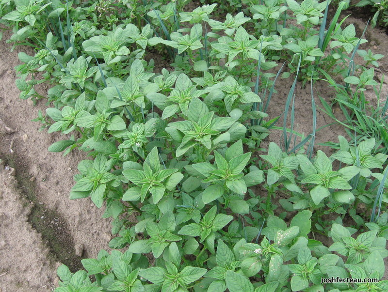 Photo of Red-rooted Amaranth