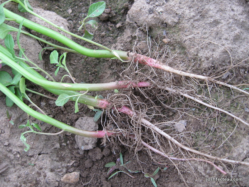 Photo of Red-rooted Amaranth roots