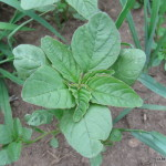 Photo of Red-rooted Amaranth top