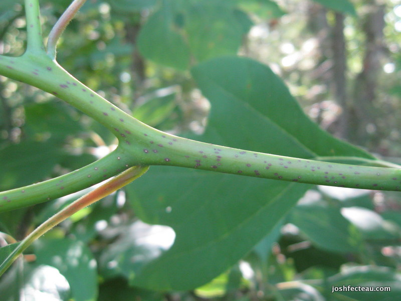 Photo of Sassafras twig