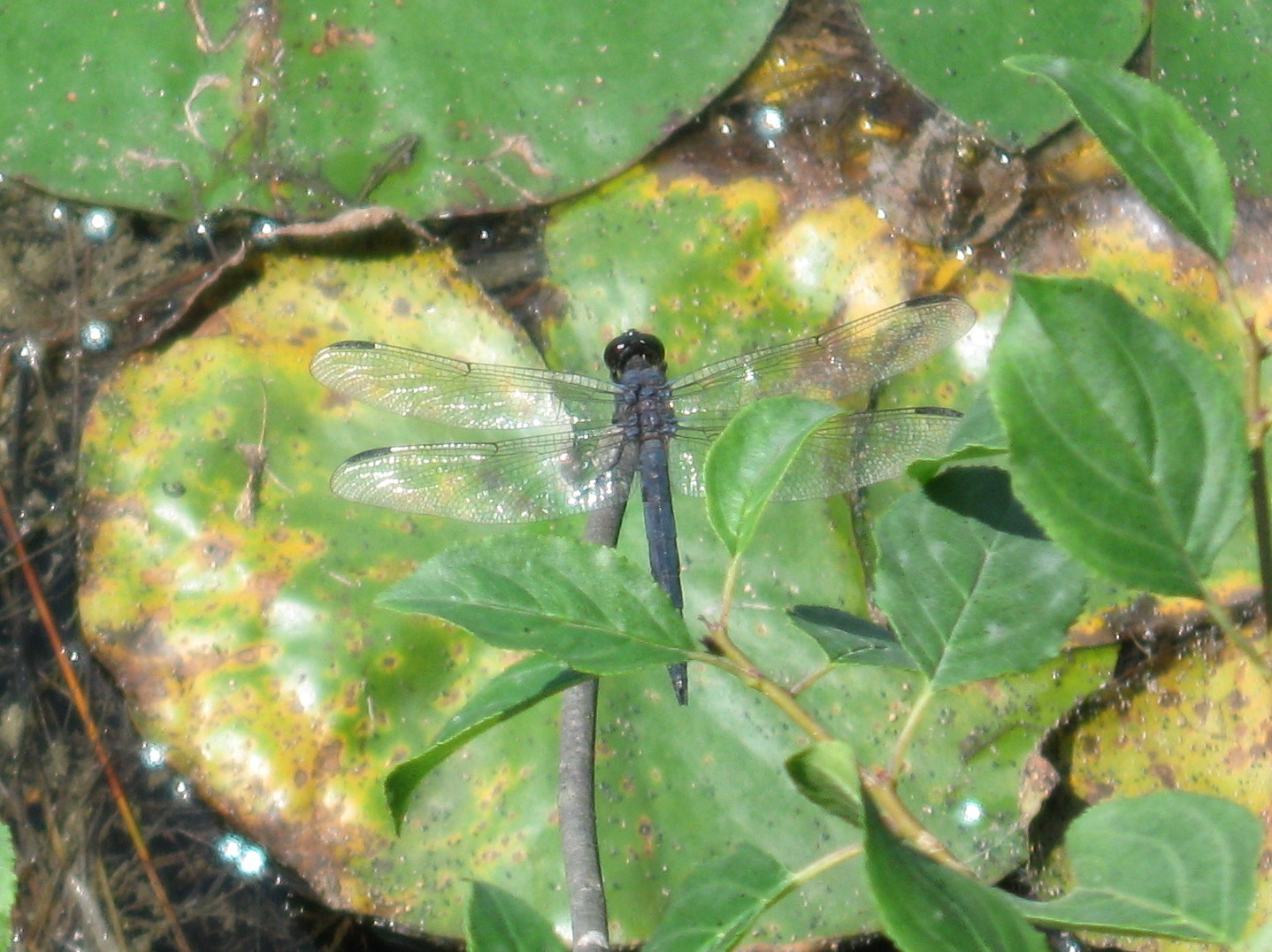 Photo of Slaty Skimmer (male)