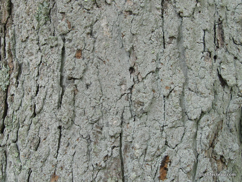 Photo of Sugar Maple bark