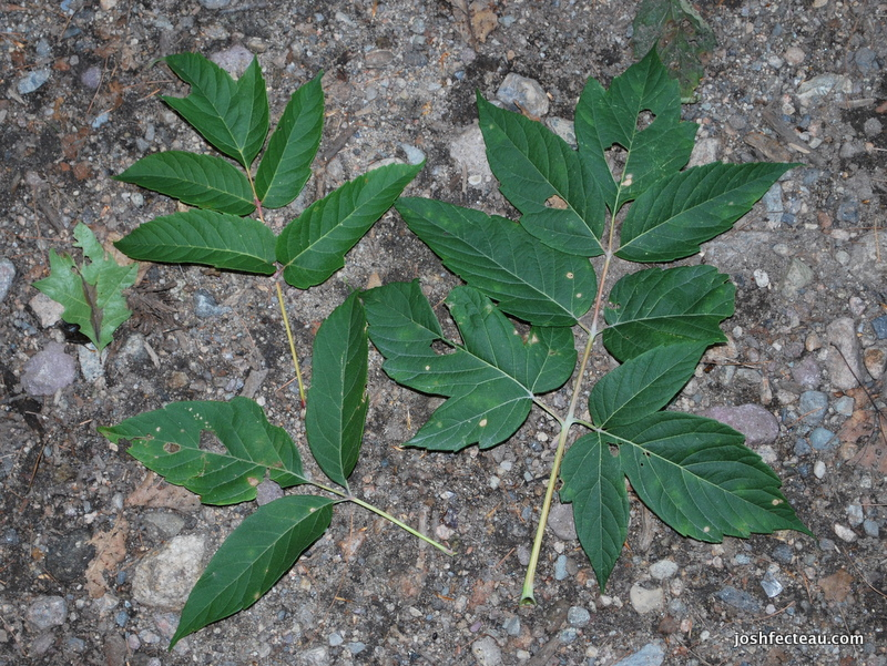 Photo of Ash-leaved Maple leaves