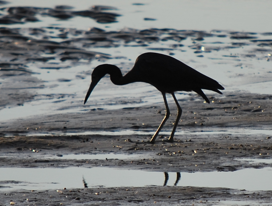 Little Blue Heron at Hills Beach in Biddeford, Maine