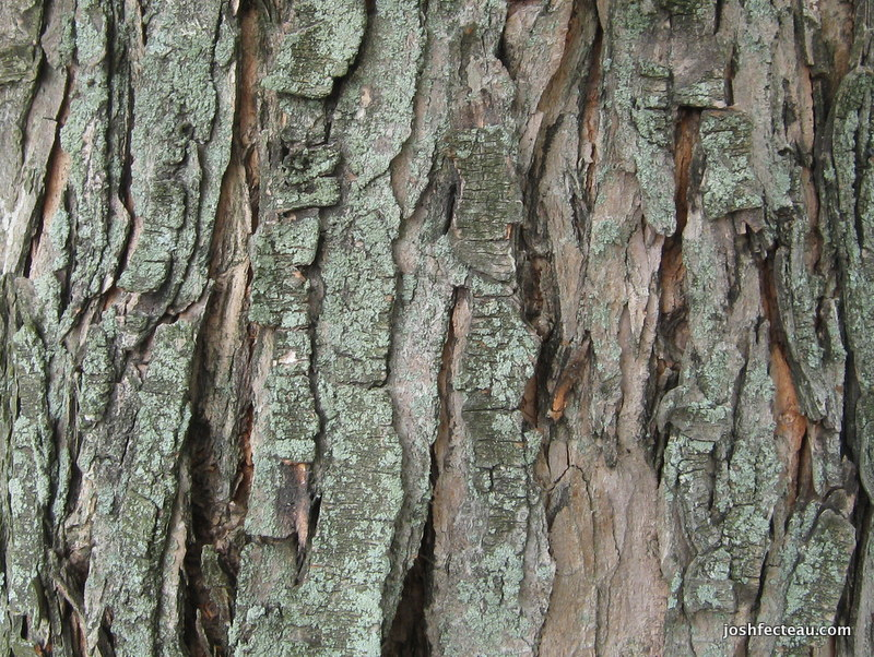 Photo of Silver Maple bark