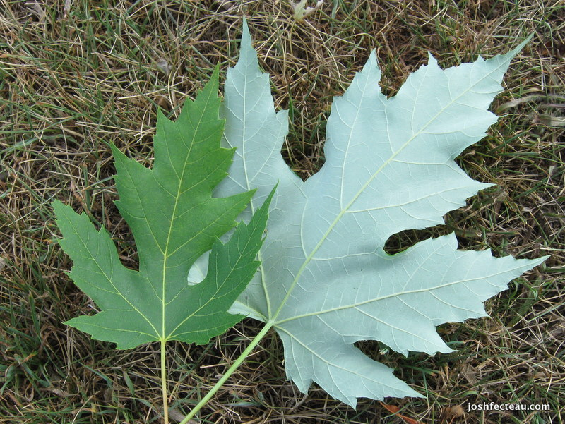 Photo of Silver Maple leaf