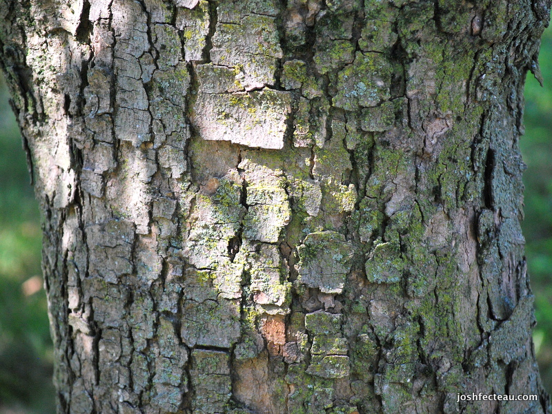 Photo of Sycamore Maple bark