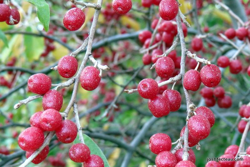 Photo of Autumn-olive fruit