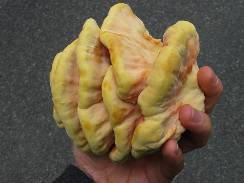 Photo of Chicken of the Woods bottom