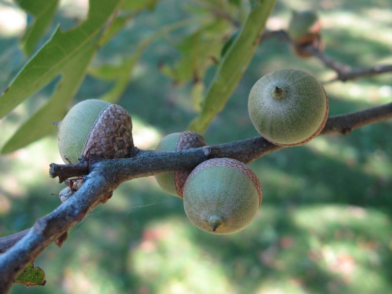 Photo of Pin Oak