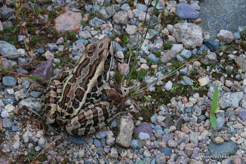 Photo of Pickerel Frog