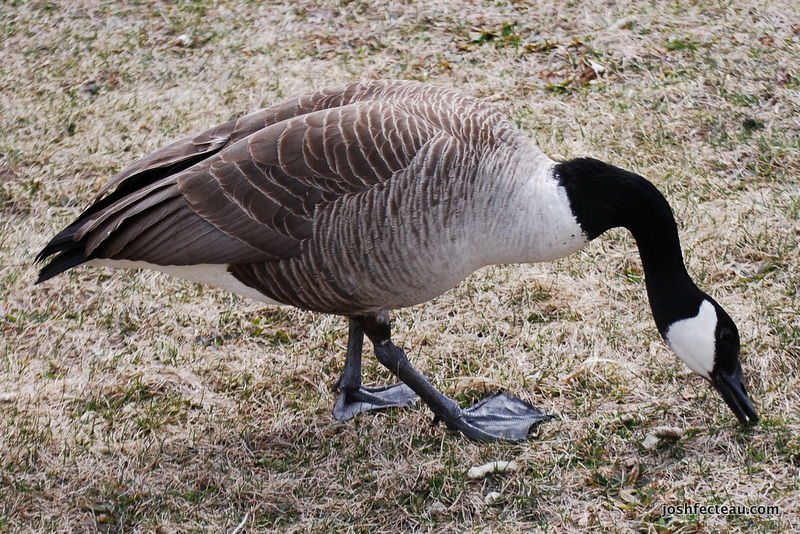 Photo of Canada Goose