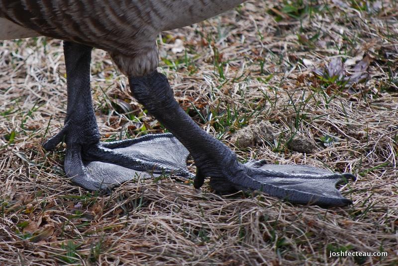 Photo of Canada Goose feet