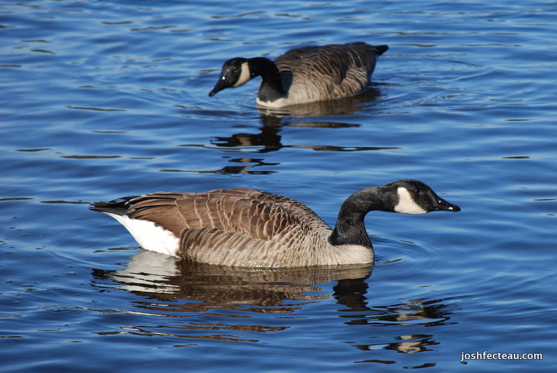 Photo of Canada Goose pair