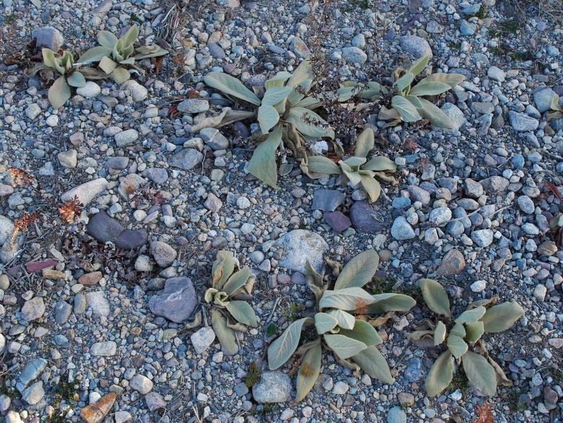 Photo of Common Mullein rosette