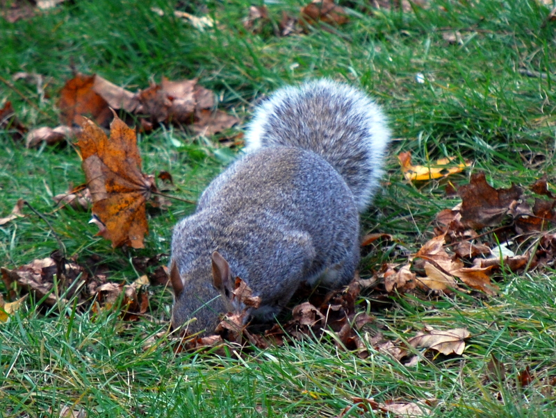 Photo of Gray Squirrel