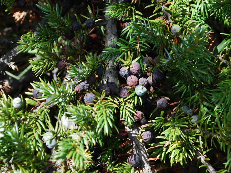 Photo of Common Juniper berries