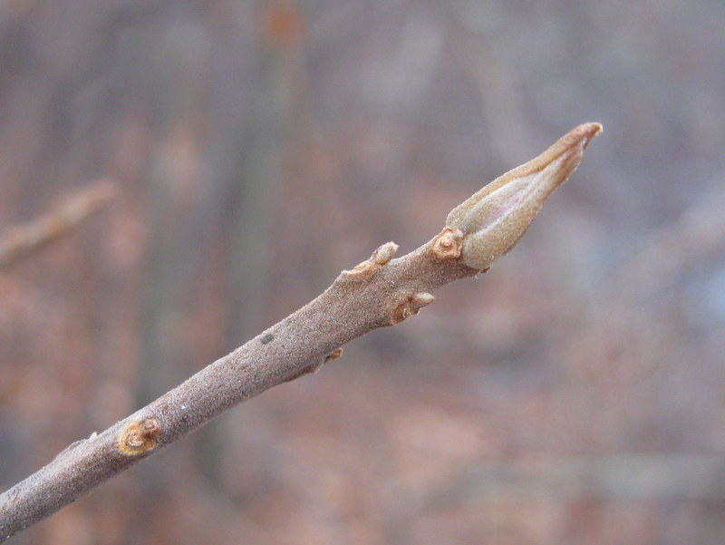 Photo of Coastal Sweet-pepperbush bud