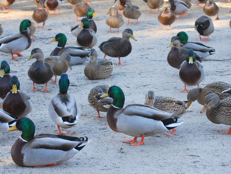 Photo of Duck group