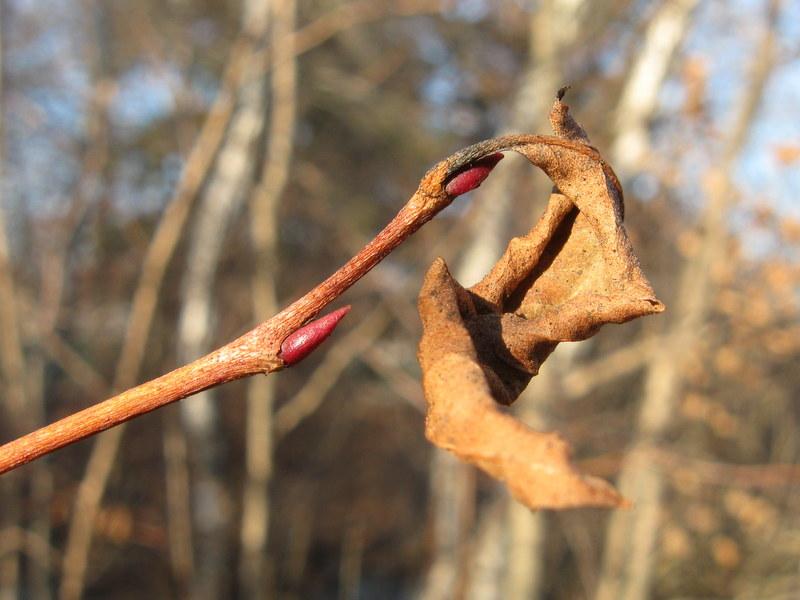 maleberrybuds