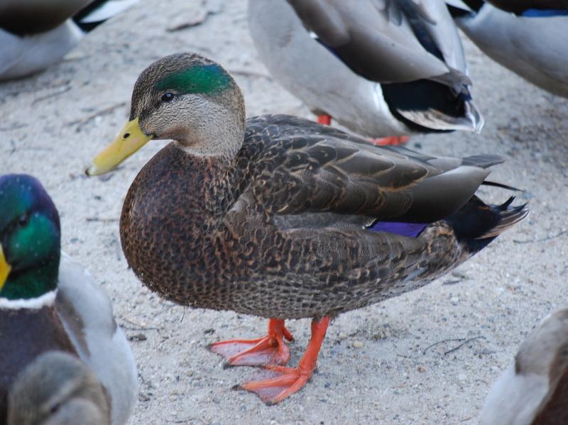 Photo of Mallard X American Black Duck (hybird)