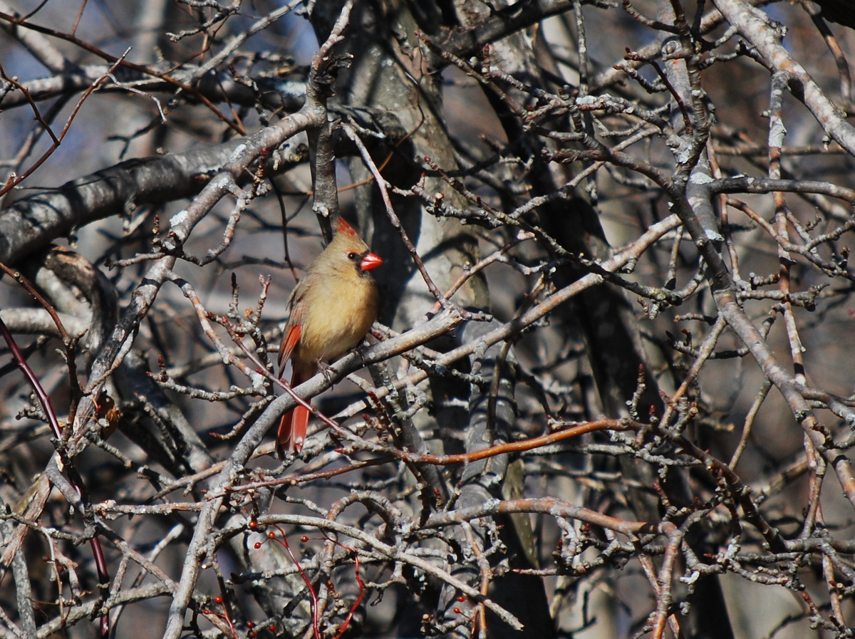 Photo of Northern Cardinal (female)