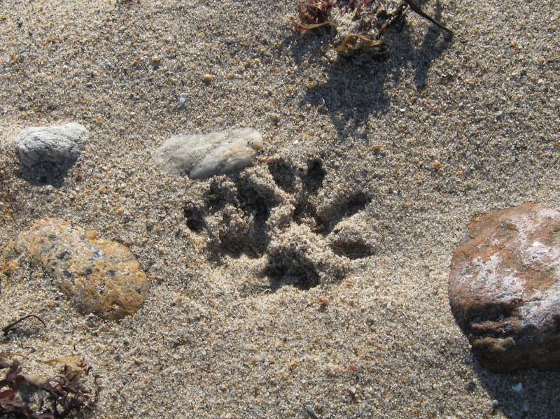 Photo of Quiz #38: Mammal Tracks (close up)