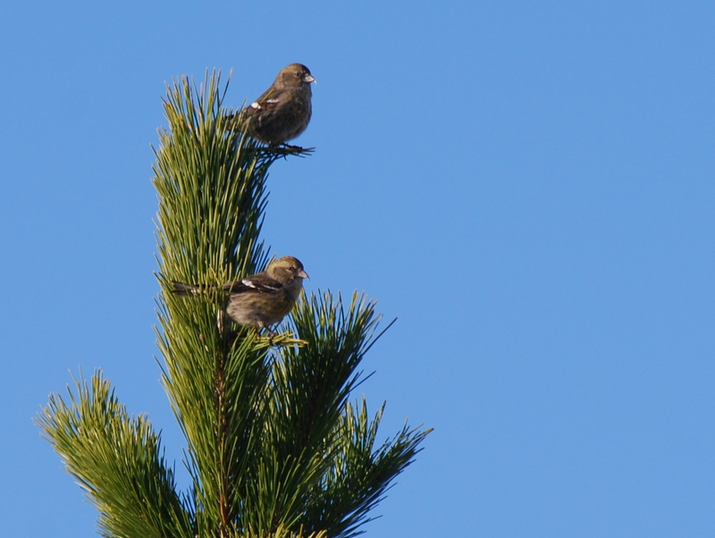 whitewingedcrossbill1