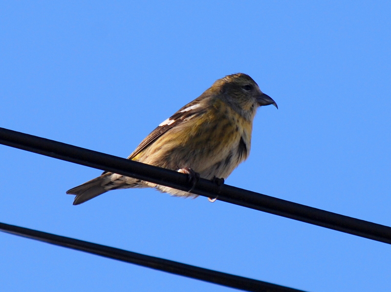 whitewingedcrossbill4