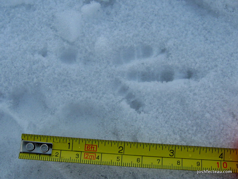 Photo of American Crow track