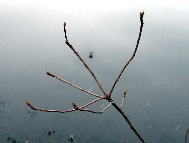 Photo of Clammy Azalea branching