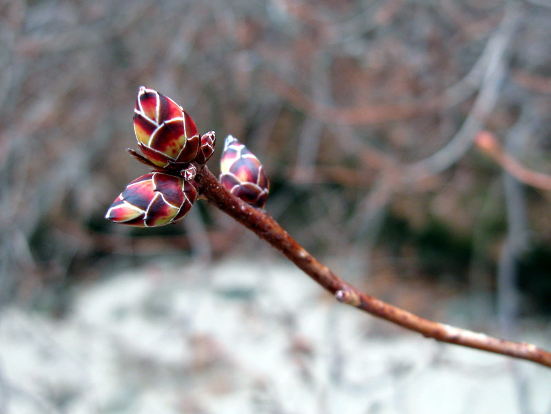 Photo of Clammy Azalea buds
